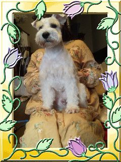 愛犬タロウ、ミニチュアシュナウザーの写真